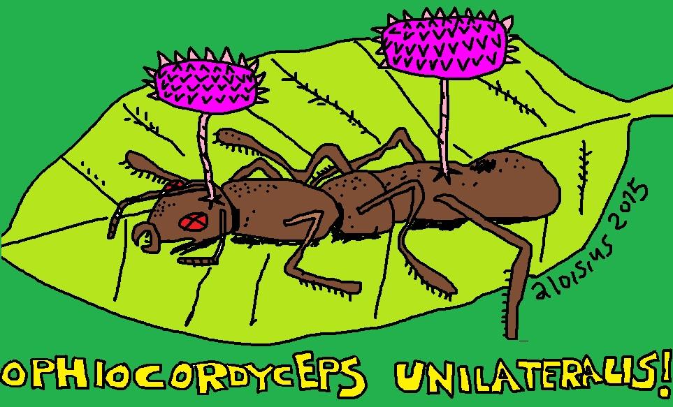 Ophiocordyceps unilateralis zwei